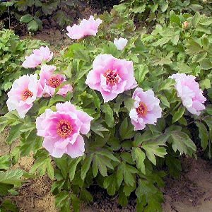 paeonia suffruticosa moutan tree peony seeds. Black Bedroom Furniture Sets. Home Design Ideas