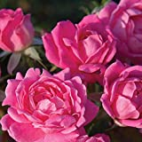 Pink Double Knock Out ® Rose Bush   Easy To Grow Low Maintenance Pink Reblooming Landscape Rose Plant   4 Inch Container Potted