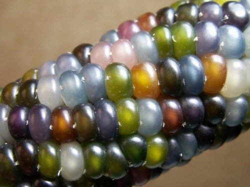 glass-gem-indian-corn-heirloom-seed-the-most-beautiful-corn-in-the-world