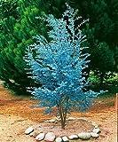 Cider Gum Eucalyptus Herb 20 Seeds - Eucalyptus gunnii