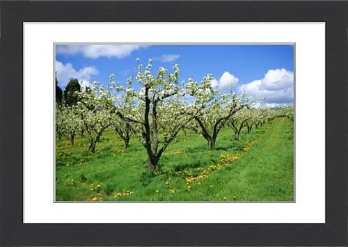 framed-print-of-blossom-on-pear-trees-in-orchard-holt-fleet-worcestershire-england-uk