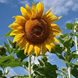 Sunflower Mammoth Grey Stripe DHGSGA (Yellow) 50 Open Pollinated Seeds by David's Garden Seeds