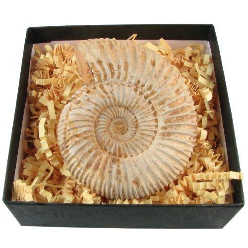 junior-geo-genuine-fossil-ammonite-in-a-box
