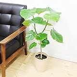 ウンベラータ ゴムの木 5号鉢 鉢植え 観葉植物 インテリア 中型
