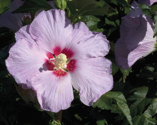 Candide Hibiscus Rose of Sharon - Lavender Purple