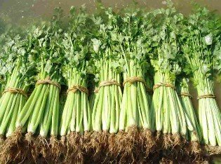 SD0040 Celery Seeds, Fresh Celery Vegetable Seeds, Rare Asian Plant Seed (50 Seeds)