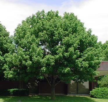 50-white-ash-tree-seeds-fraxinus-americana