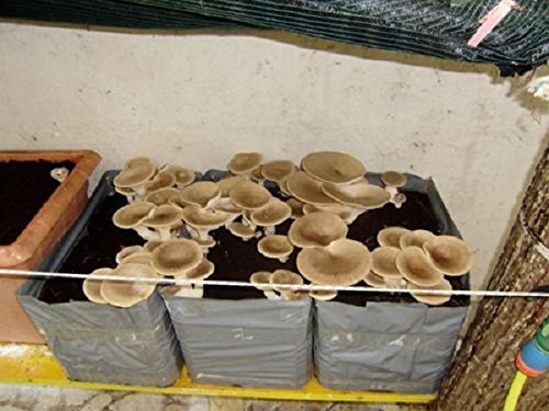 2 pezzi kit coltivazione funghi pleurotus cardoncello substrato panetti funghi,casa giardino