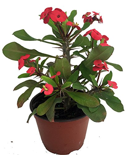Red crown of thorns plant euphorbia splendens ebay for Crown of thorns plant
