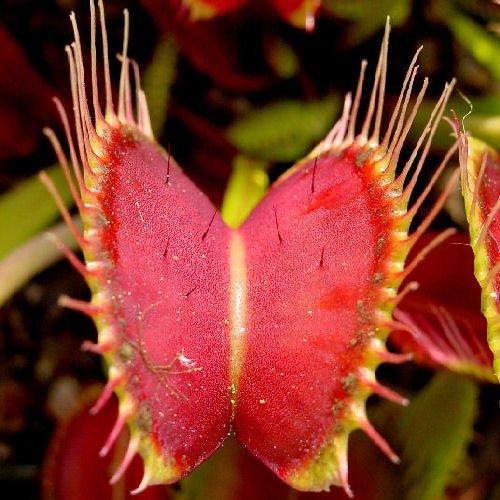 Venus Flytrap Dionaea muscipula carnivorous 10 seeds