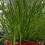 Cat Grass - 2 plants