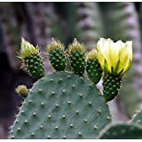Amazon - Prickly Pear Cactus Plant