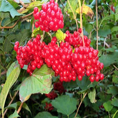 AMERICAN CRANBERRY Viburnum Trilobum BULK 500 seeds