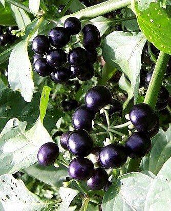 Seeds and Things Garden Huckleberry, Solanum Melanocerasum 20 Seeds