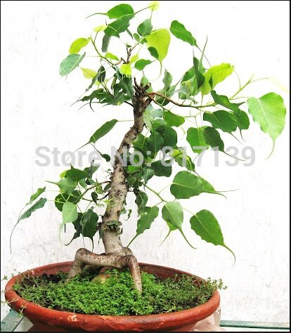 nuova-casa-giardino-di-piante-1-semi-ficus-bodhi-sacro-fig-ficus-religiosa-semina-il-trasporto-liber