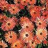 Outsidepride Orange Ice Plant Seeds - 5000 seeds