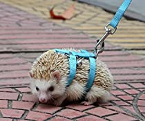 Adjustable hedgehog Harness for Training & Playing