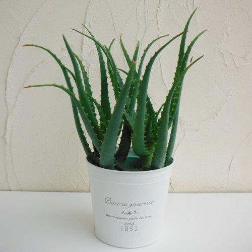 ナチュラルブリキポット:キダチアロエ(木立アロエ)5号鉢植え
