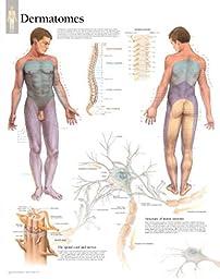 Understanding Dermatomes Educational Chart Poster 22 x 28in