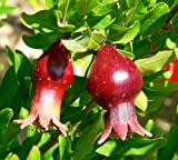 Dwarf Pomegrante Tree Container/Patio/Bonsai Size