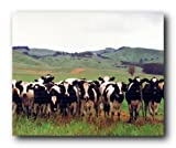Country Cows Herd Holsteins Dairy Pasture Farm Animal Wall Decor Art Print Poster (16x20)