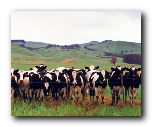Country Cows Herd Holsteins