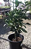 Dwarf Gold Nugget Mandarin Orange Tree, Five Gallon Container