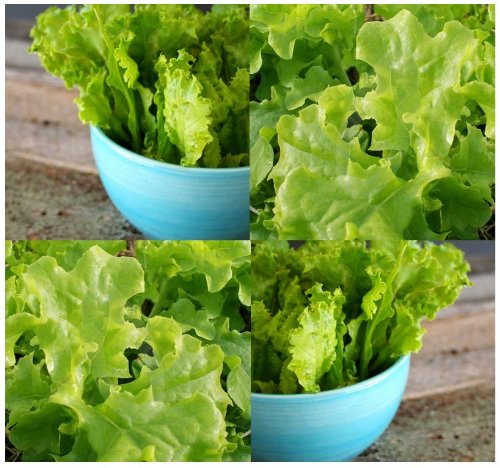 500 Salad Bowl Green Lettuce Seeds ~High Quality Organic ~Ideal For Home Gardens