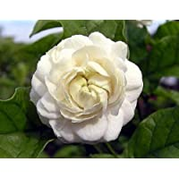 Arabian Jasmine Plant - Grand Duke of Tuscany - Fragrant - 4