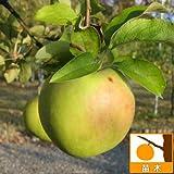 リンゴ:グラニースミス(クッキングアップル)5号ポット[JM2わい性台木][苗木]