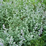 Lawn & Patio - Catnip Seeds 400 Seeds