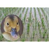 新潟県産 白米 特別栽培米 合鴨農法(無農薬) 内山農園 愛がも コシヒカリ 10キロ 平成27年度産