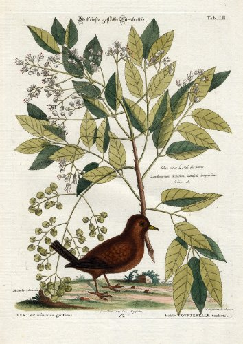 Antique Bird Print-GROUND DOVE-Pl. LII-Catesby-Seligmann-1768