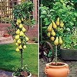 MaleeGrow Bonsai Pear Tree Seed!!!!!! 10seeds
