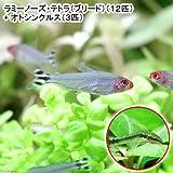 (熱帯魚)ラミーノーズ・テトラ(ブリード)(12匹) + オトシンクルス(3匹) 本州・四国限定[生体]