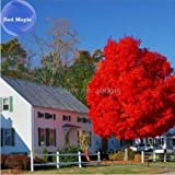 New Autumn Blaze Red Maple Tree Seeds - 20+ seeds