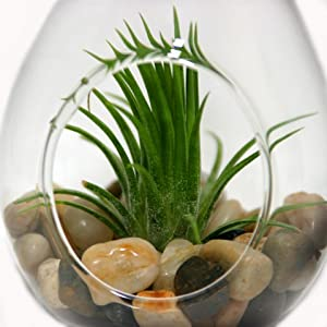 Teardrop Terrarium with Air Plant & River Stones