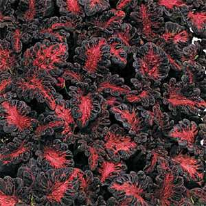 Coleus Black Dragon - 200 Seeds