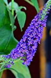 Butterfly Bush Buddleia Empire Blue 40 - 60 Cm In 3 Liters Plant Container