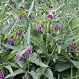 Outsidepride Comfrey - 100 seeds (Color: purple, Tamaño: A) 100 seeds)