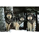 Wolves (Three Wolves in Snow) Art Poster Print - 24x36 Poster Print, 36x24 Poster Print, 36x24