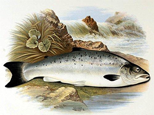 Painting Animal Fish Young Atlantic Salmon Lydon 12X16'' Art Print Lah398B