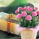 カーネーションピンク4号&吉野の葛餅セット≪母の日ギフト お届けは5月6日から9日≫