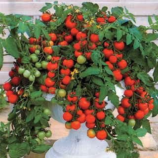 red-robin-cherry-tomato-250-seeds-upc-646263363232-4-plant-markers-ultimate-patio-tomato