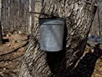 Bucket Collects Maple Tree Sap