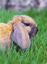 Close-up of a rabbit in grass Oryctolagus cuniculus 12x16 photo reprint