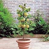 Mini Pear Doyenne du Comice - 1 tree