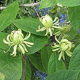ニオイロウバイ:アテネ樹高40cm根巻き[5月にメロンのような甘い香りの花を咲かせる落葉樹]