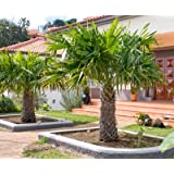 Windmill Palm Tree- Large Cold Hardy Palm Trees- Trachycarpus Fortunei- Big 1 Gallon or 3 Gallon Palms Available