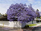 Seedstores :10 Seeds Of Blue Jacaranda Neeli Gulmohur Jacaranda Mimosifolia For Growing